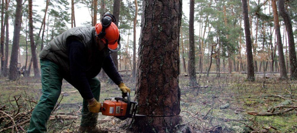 Tala con motosierra de un pino del Bosque Modelo de la comarca Pinares de Soria-Burgos